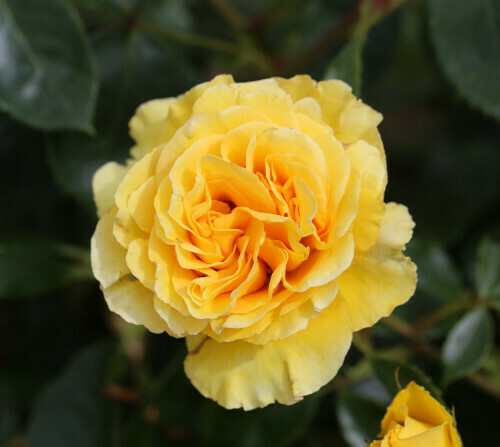 Rose Anniversary Wishes