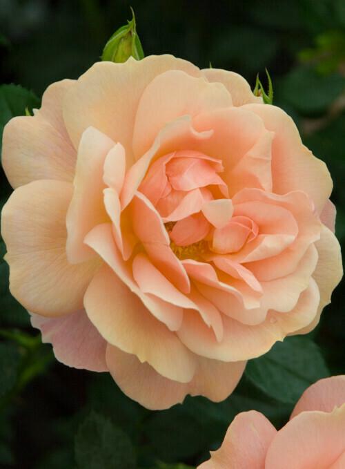 Rose New Beginnings