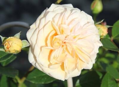 Rose Timeless Cream