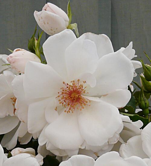 Rose Starlight Symphony