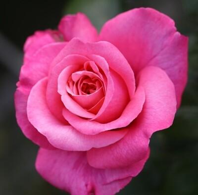 Rose Timeless Pink