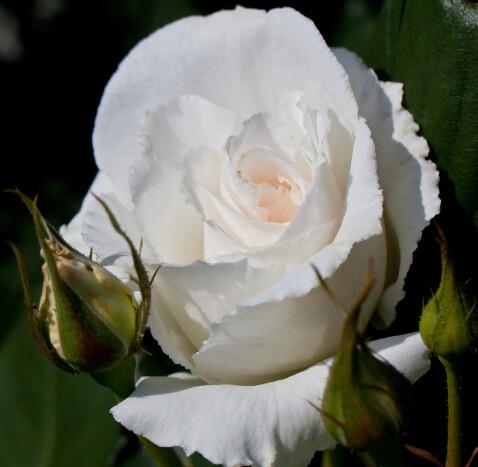 Rose Margaret Merril