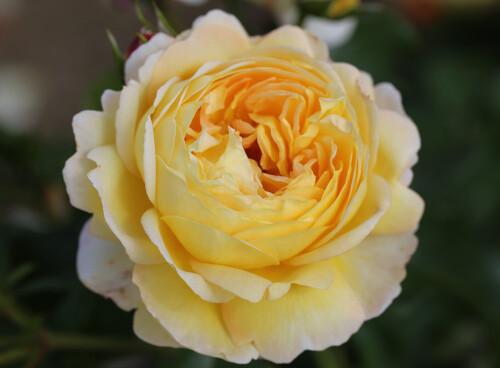 Rose Belle de Jour