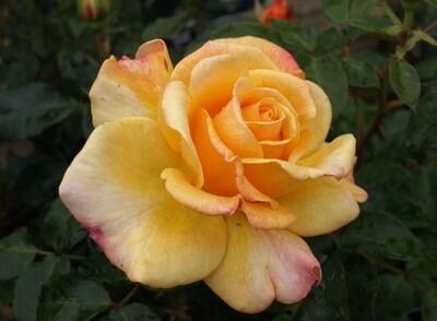 Rose Sunny Sky