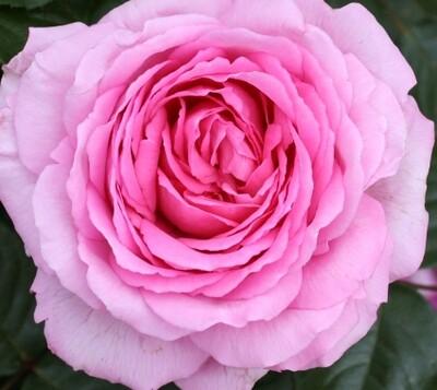 Rose Mum in a Million