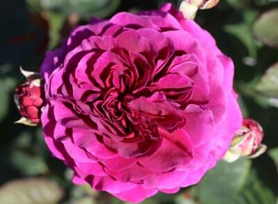 Rose Timeless Purple