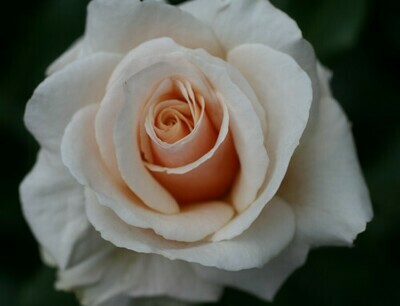Rose Happy Celebration