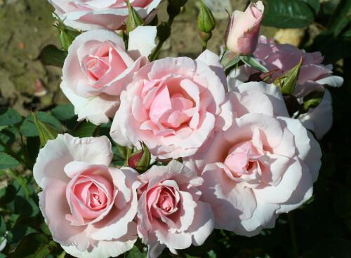 Rose Lovely Bride