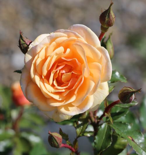 Rose Sweet Honey