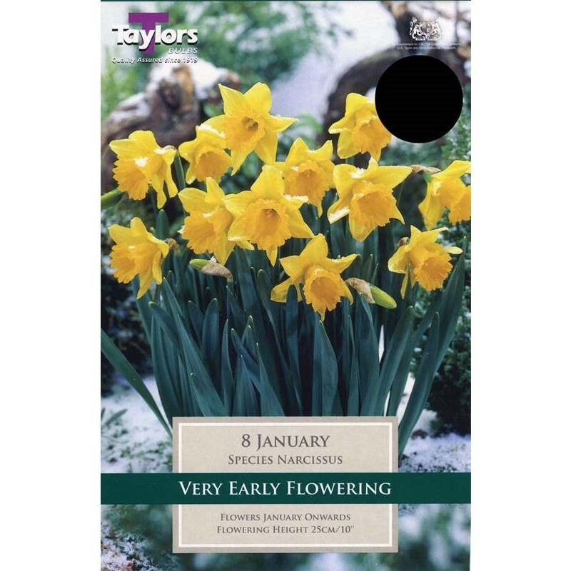 Narcissus January x8