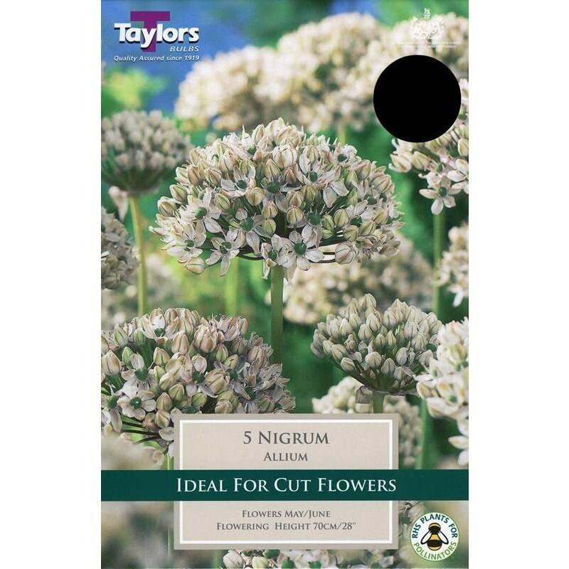 Allium Nigrum x5