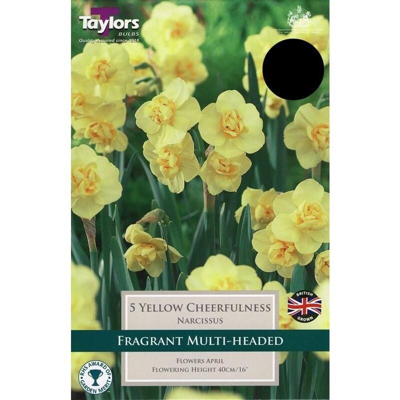 Daffodil Yellow Cheerfulness x5