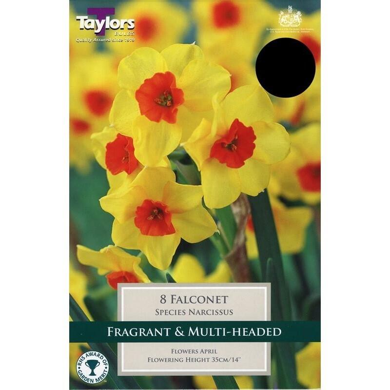 Narcissus Falconet x8