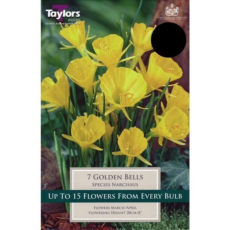 Narcissus Golden Bells x7
