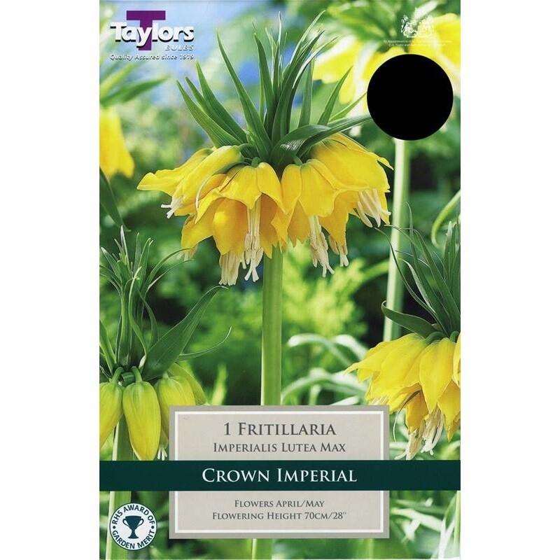 Fritillaria Imperiali Lutea Max x1