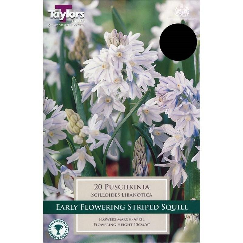 Puschkinia Scilloides Libanotica x15