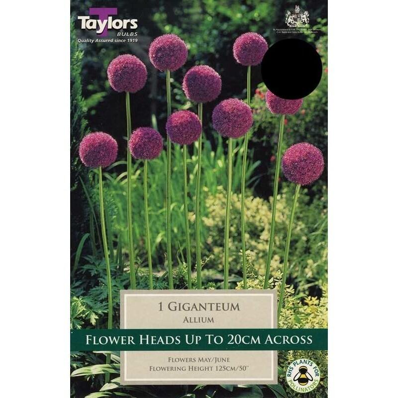Allium Giganteum x1