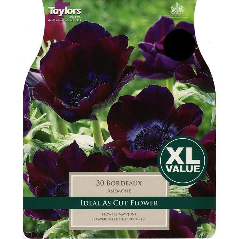 Value Anemone Bordeaux x30