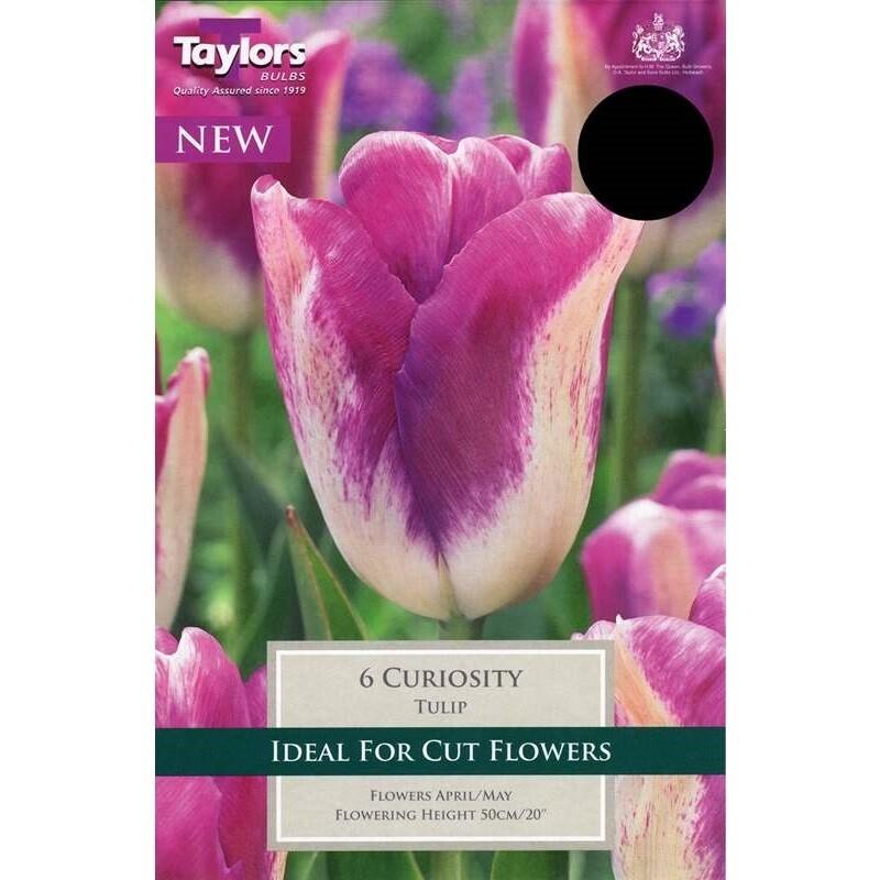 Tulip Curiosity x6