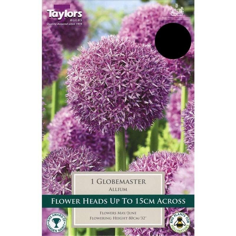 Allium Globemaster x1