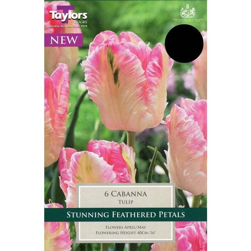Tulip Cabanna x6