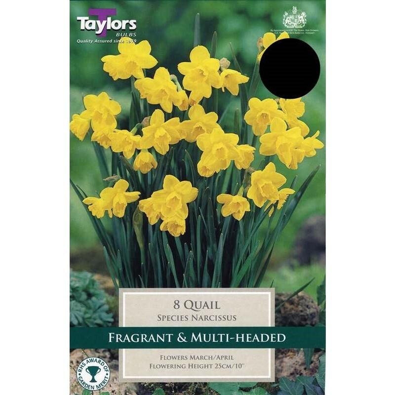 Narcissus Quail x8