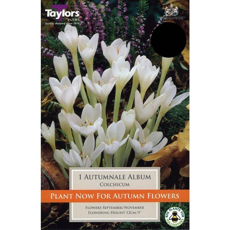 Colchicum Autumnale Album x1