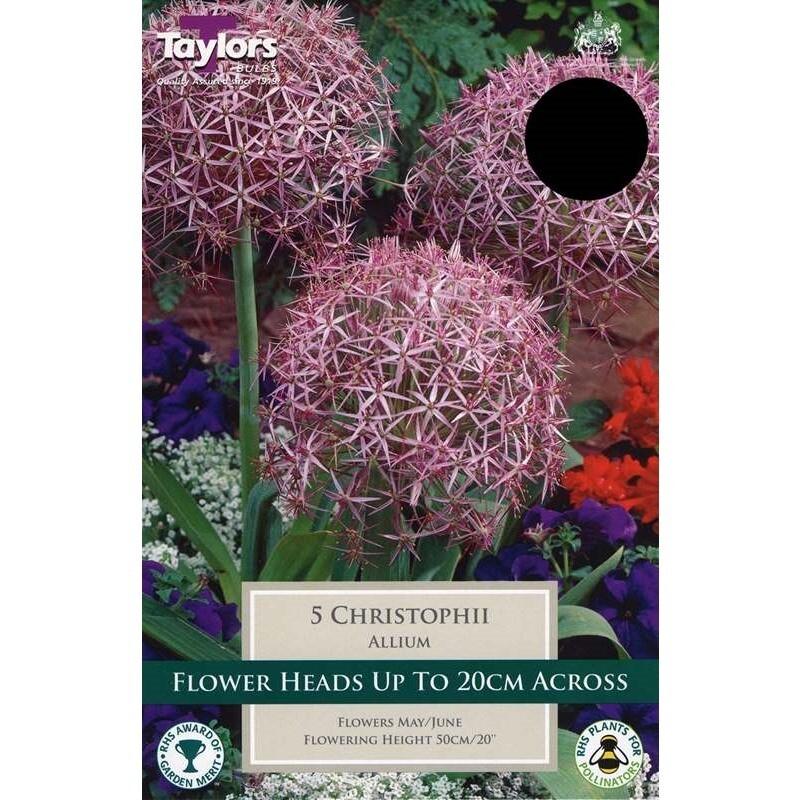 Allium Christophii x5