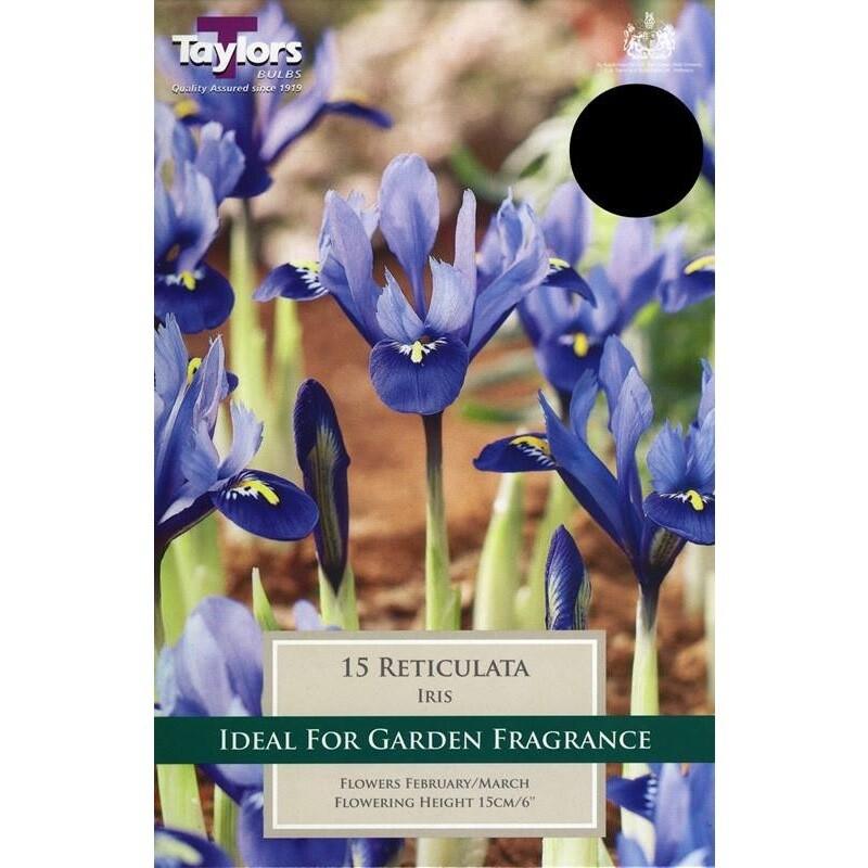 Iris Reticulata x15