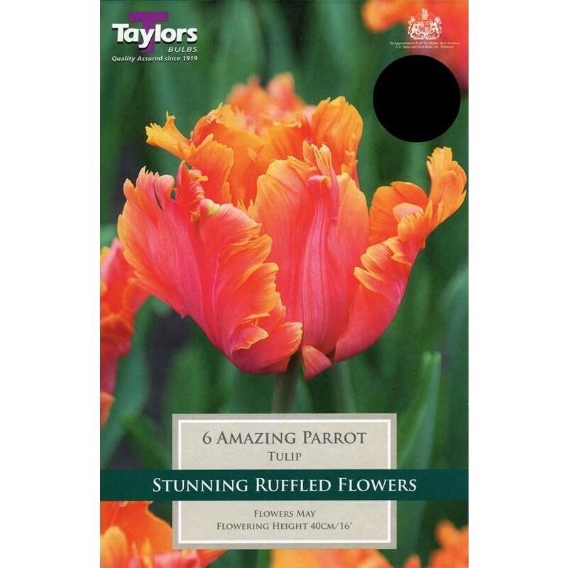 Tulip Amazing Parrot x6