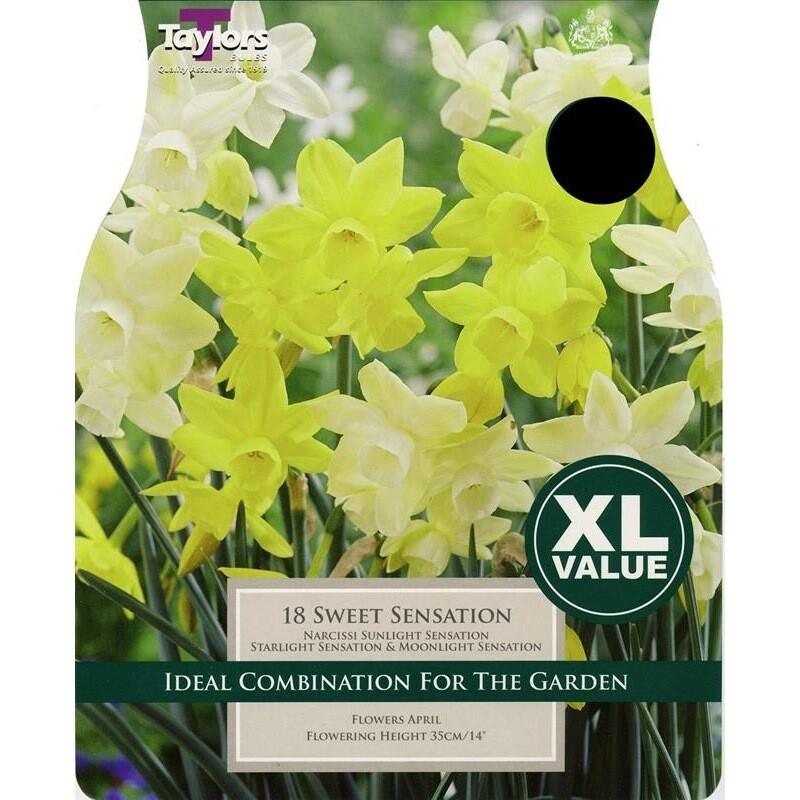 Value Narcissi Sweet Sensation x18