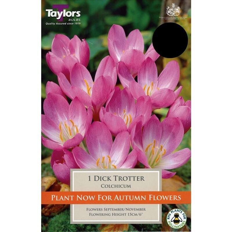 Colchicum Dick Trotter x1