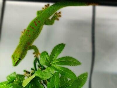 CBB Giant Day Gecko