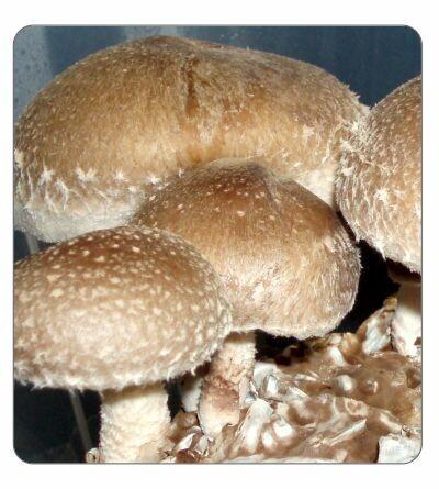 Shiitake (warm, LE3782) Spawn 2kg