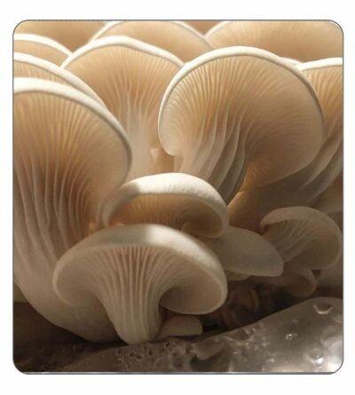Elm Oyster Agar Culture (petri dish)