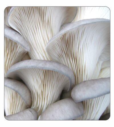 Grey Oyster Agar Culture (petri dish)
