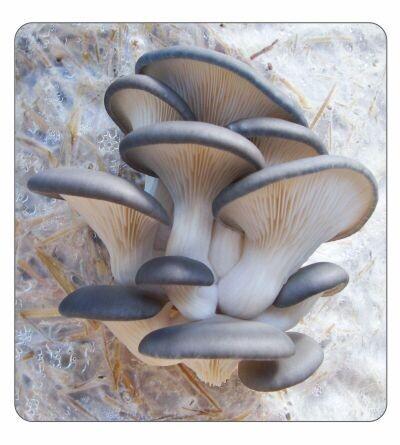 Blue Oyster Agar Culture (petri dish)