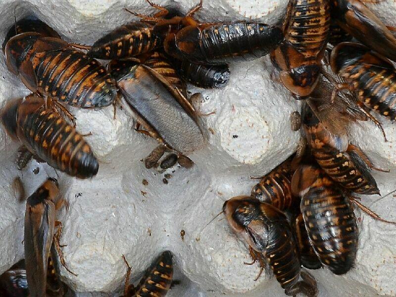 Breeder Starter Colony
