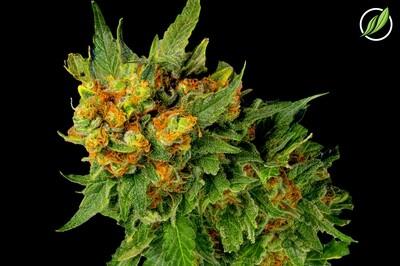 Lustraden Flower T26% H 9560 - 3.5g (CTPharma)