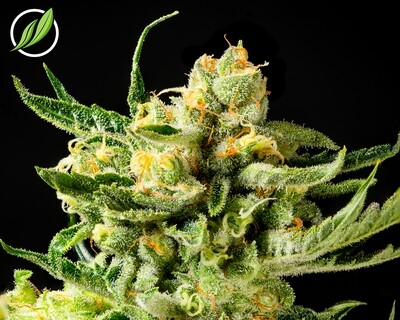 Bandolyn Flower T30% H 9558 (3.5g)(CT Pharma)