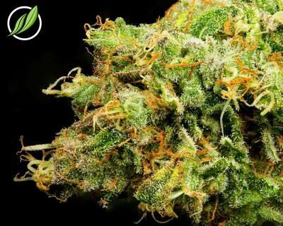 Purpalex Flower T30% I 10190 (3.5g)(CT Pharma)