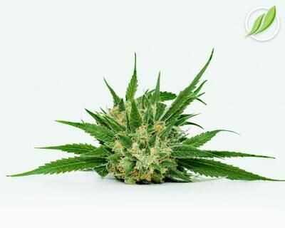 Purpalex Flower T33% I 10892 - 3.5g (CTPharma)