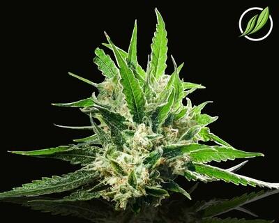 Bandolyn Flower T35% H 12041 - 3.5g (CTPharma)