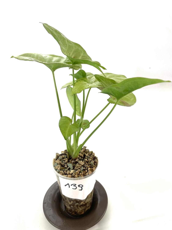Syngonium confetti nr 139