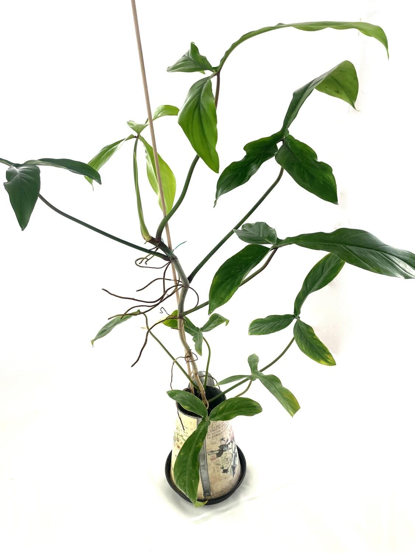 Philodendron 69686 sadzonka cięta