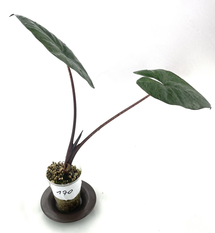 Alocasia sarawakensis Yucatan Princess nr 170