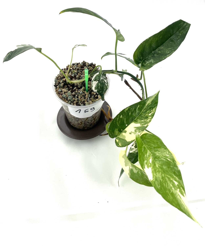 Epipremnum pinnantum white/yellow variegata nr 169