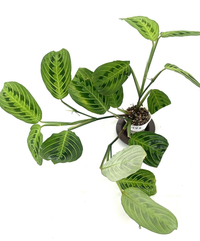 Maranta Lemon Lime cięty węzeł z liściem