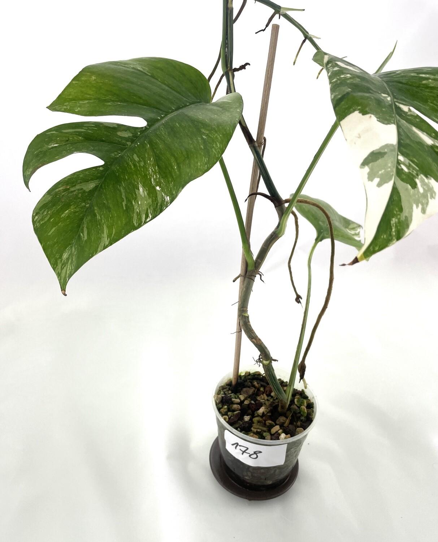 Epipremnum pinnantum white/yellow variegata nr 178