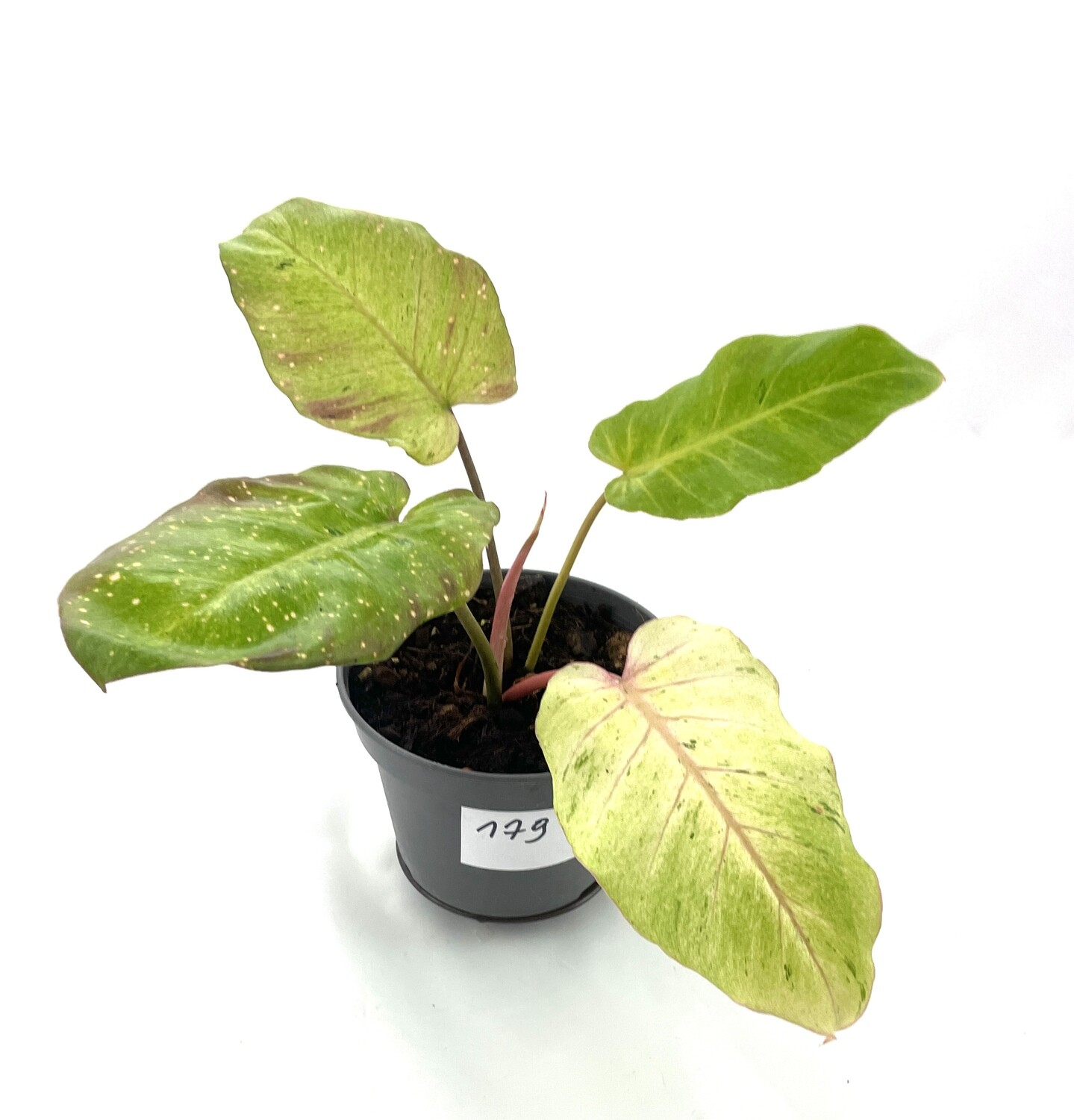 Philodendron Snowdrift (Jungle Fever) nr 179